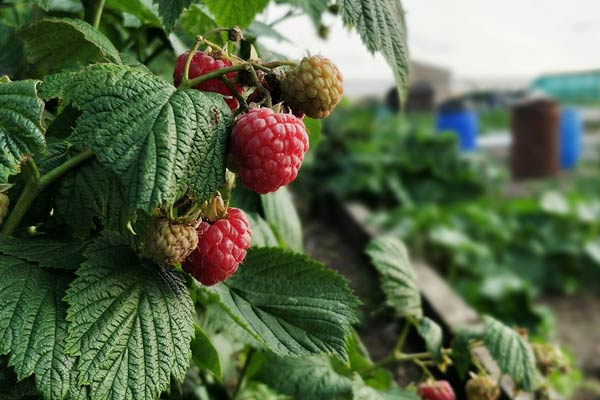 Raspberrys growing on an allotment